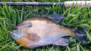 Bull Bluegill fishing tenkara
